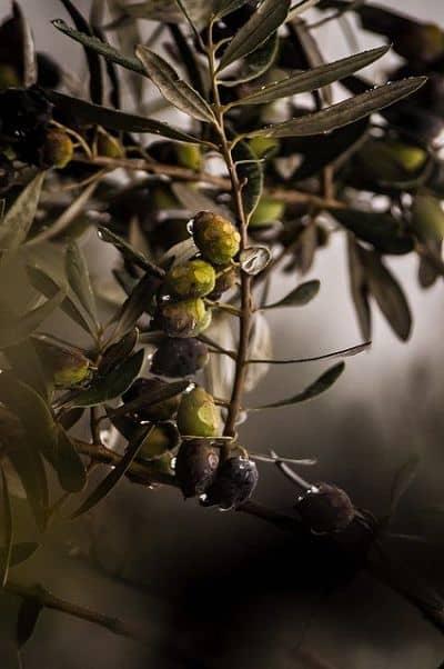 AOVE Ecológico Gourmet Sabores