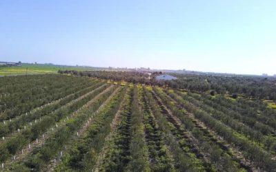 Aceite Ecológico de Sevilla SIN GLIFOSATO