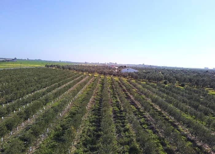 campo olivar la campana sevilla